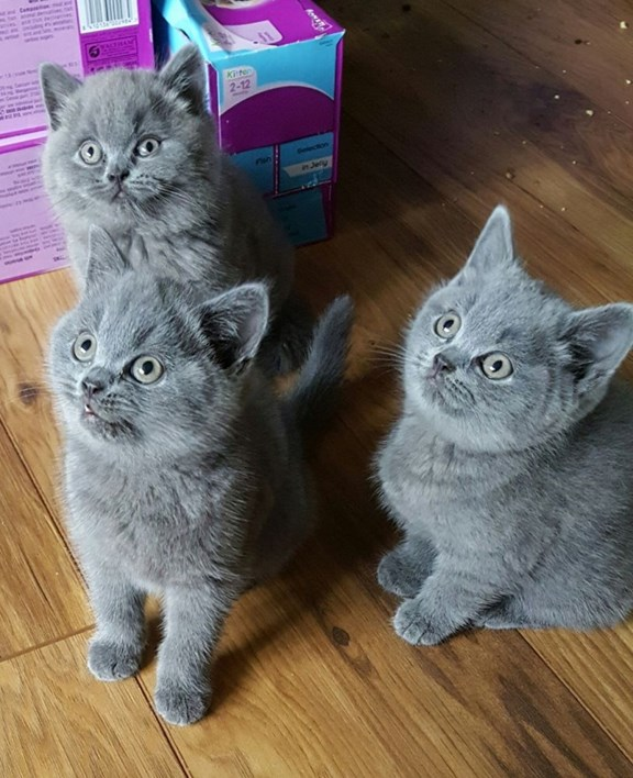 Purebred Grey Male And Female British Short Hair Kittens In Dubai Aid City Cats Sulekha